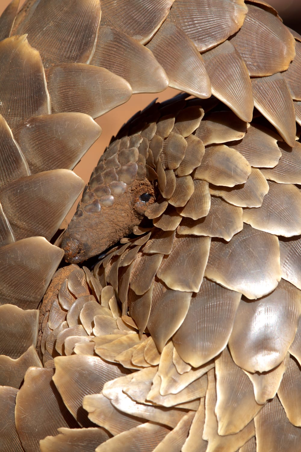 Pangolin research. Kalahari Conservation and Wildlife Research by Tswalu Foundation