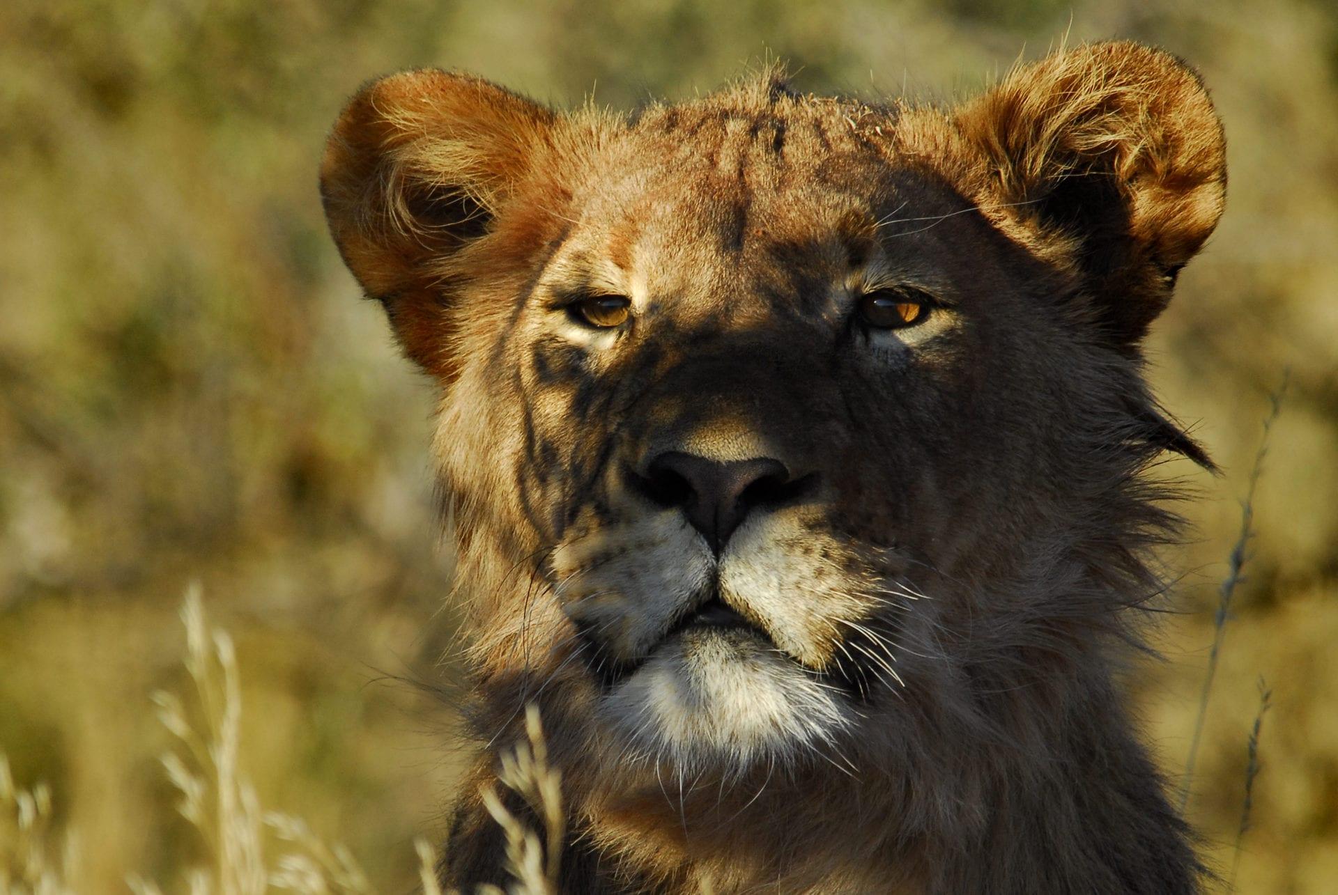Tswalu Kalahari lioness