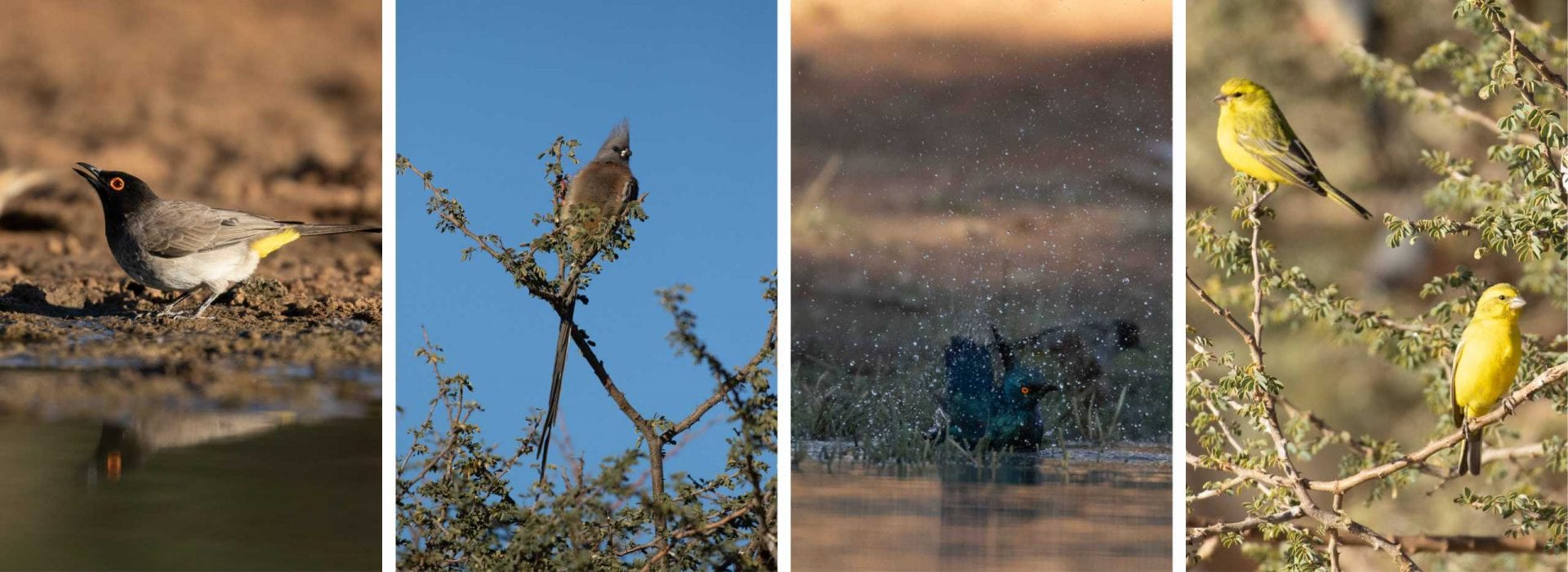 African red-eyed bulbul, White-backed mouse bird, Cape glossy starling, Yellow canary, birds, birder, bird watching