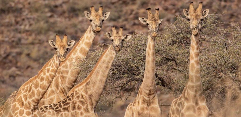 Safari travel - giraffes
